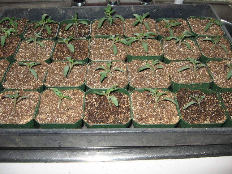 2012 Tomato seedlings