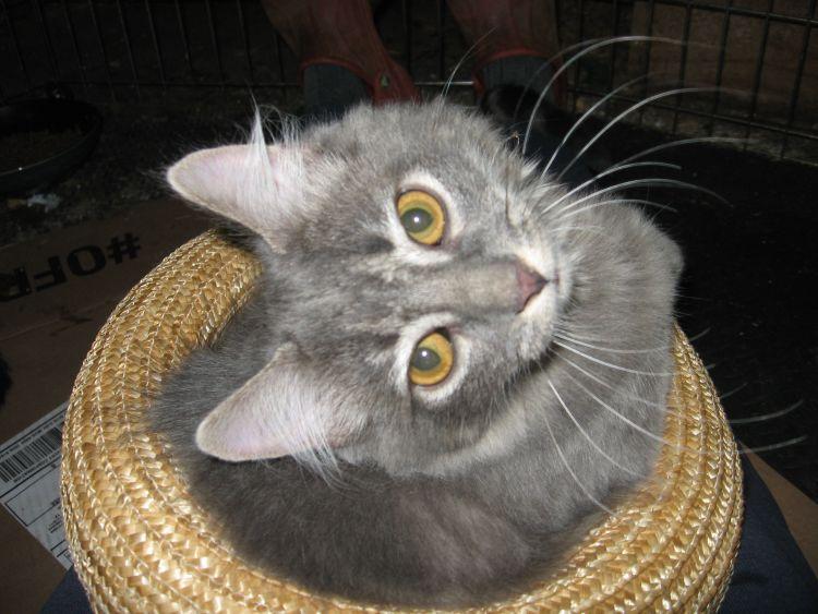 Veronica, cat in a hat!