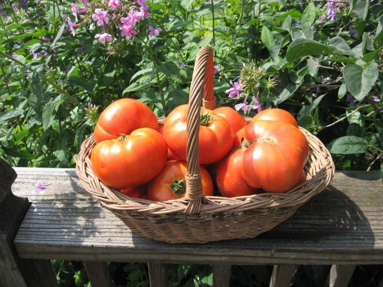 Beefsteak Tomato Harvest!