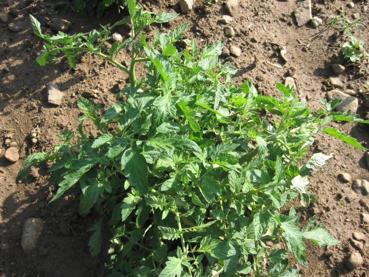 Tomato plant in June