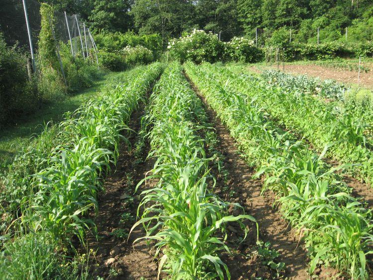 Flint Indian Corn 2013