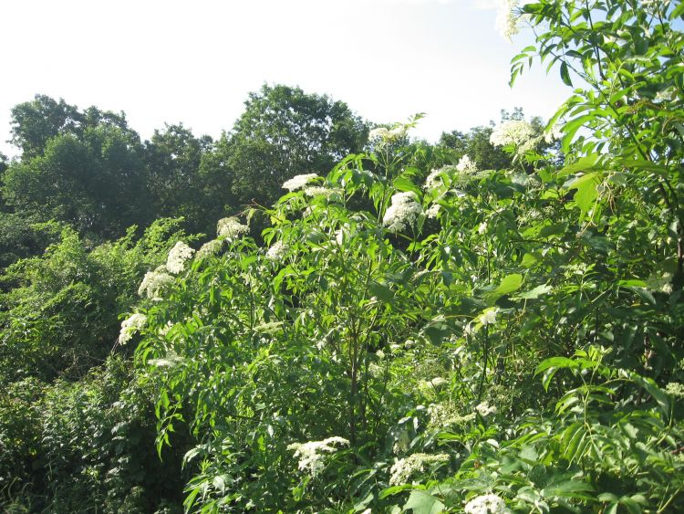 Tall Elderberry plants