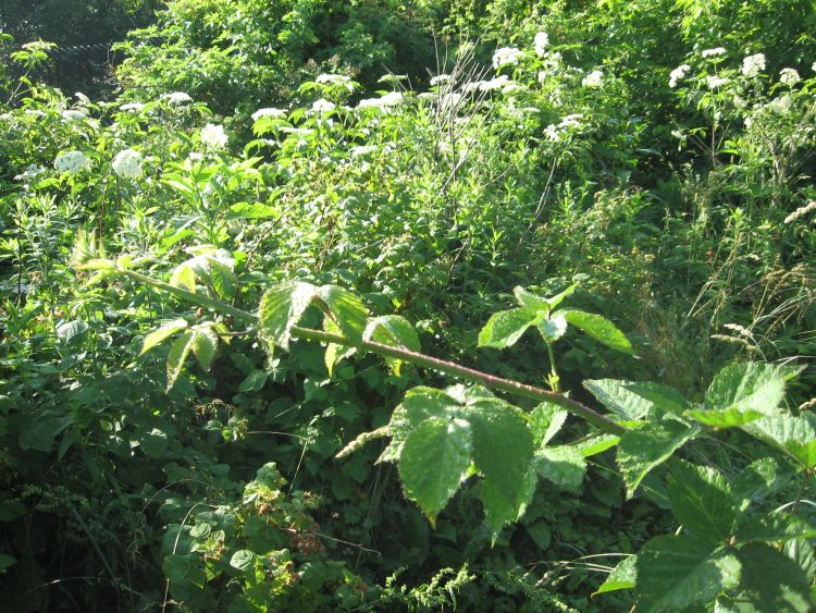 Thorn less Blackberry shoot