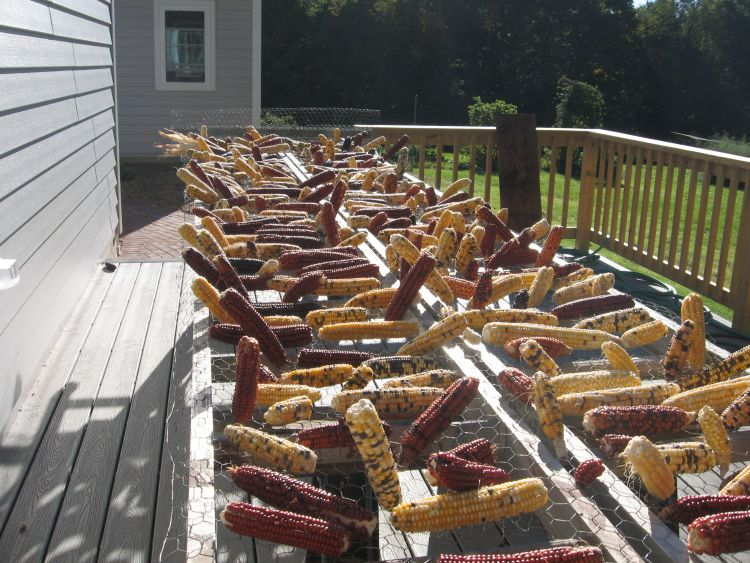 2013 Flint Corn drying
