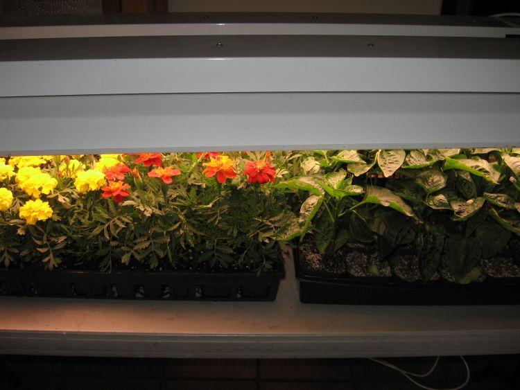 California Wonder Pepper plants
