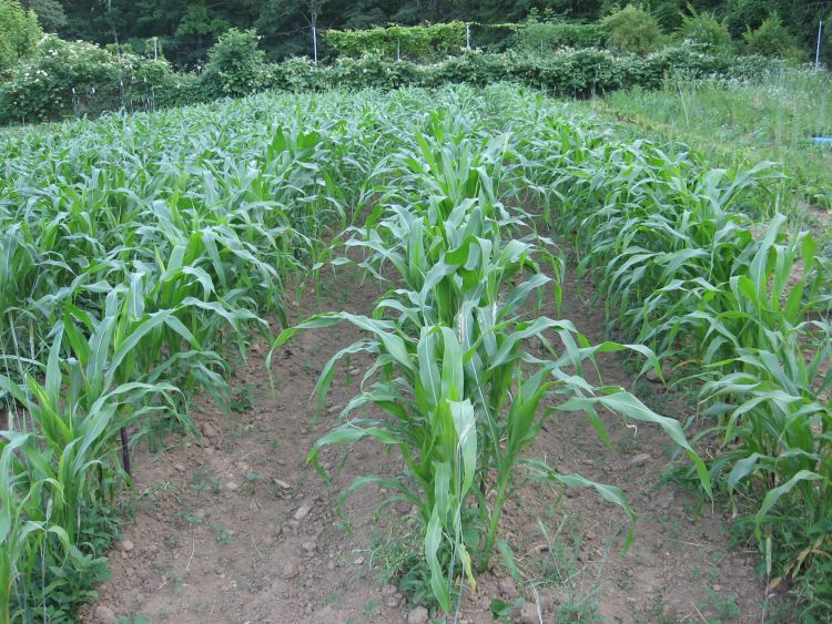 Our Flint Indian Corn