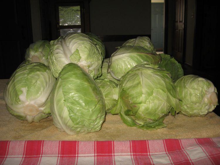 E.J.W. Cabbage harvest