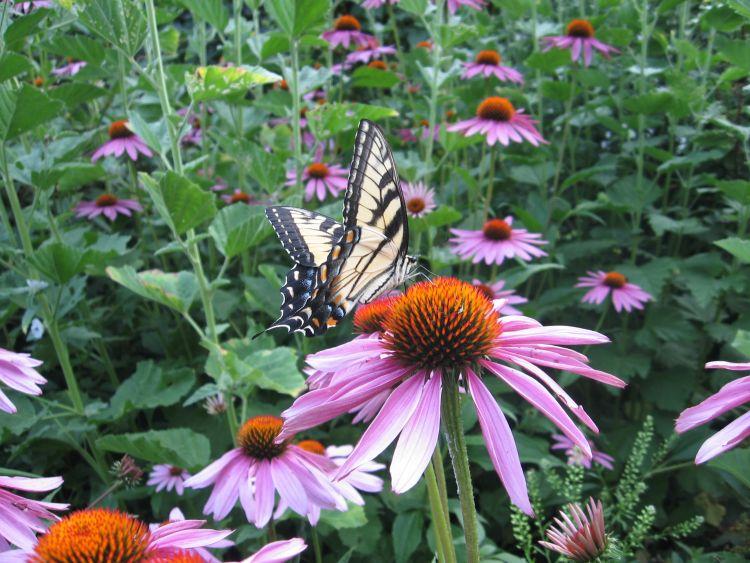 Butterfly on Purple Cone Flower