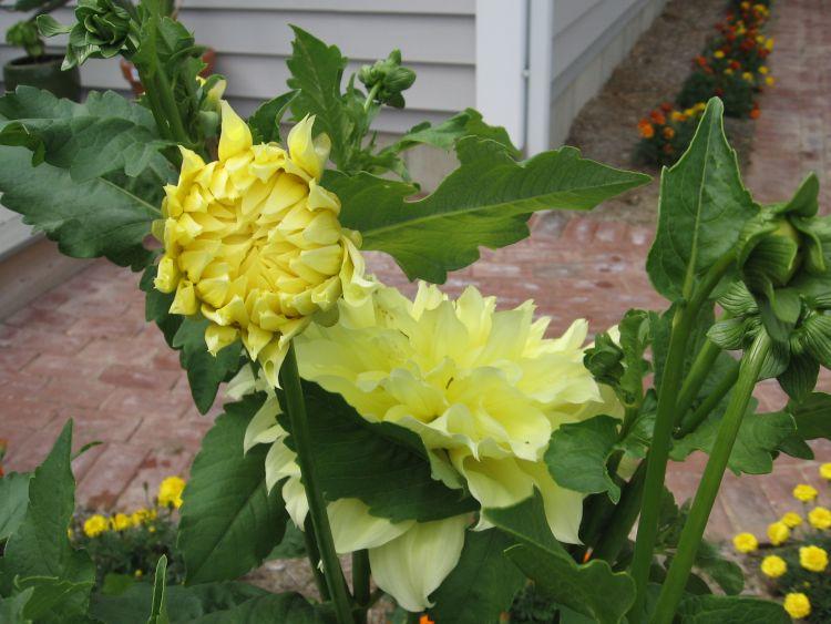 Dahlia pictures including a bud