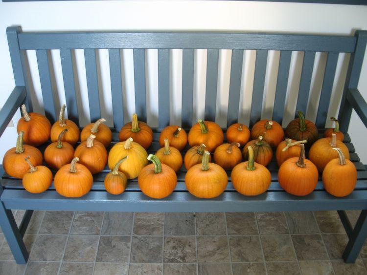 Early Harvest of Sugar Pumpkins