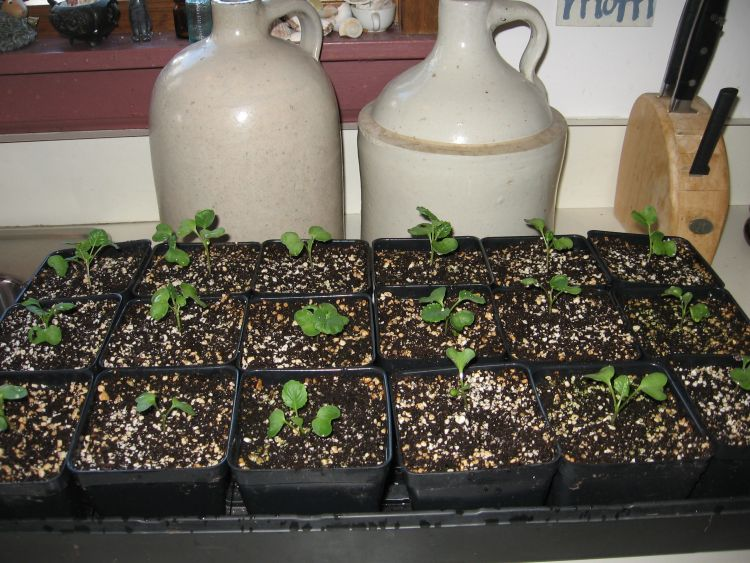 Cole crop seedlings