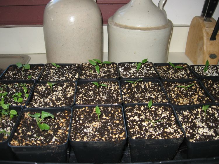 Pepper plant seedlings