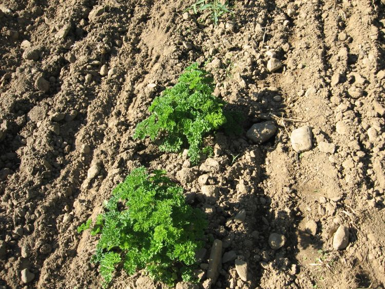 Parsley off to a good start