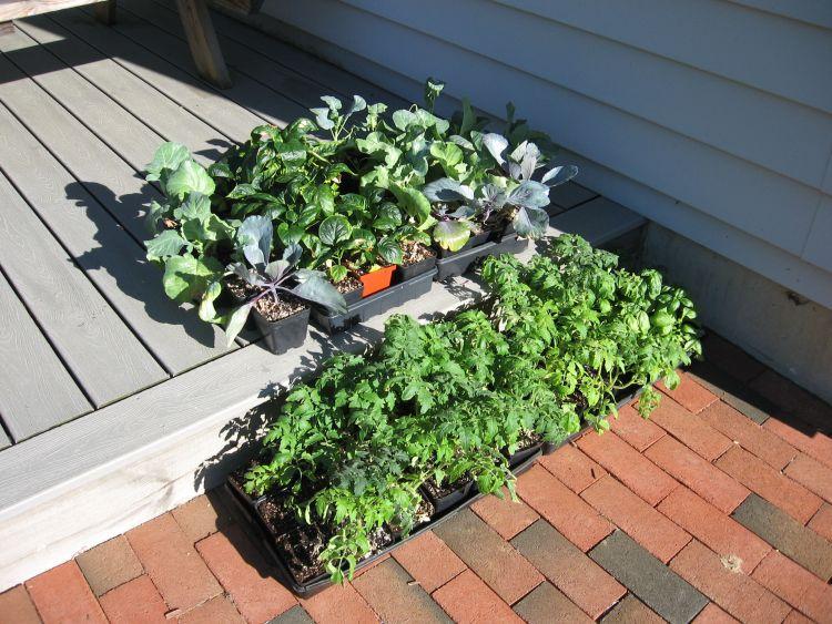 Garden plants hardening off
