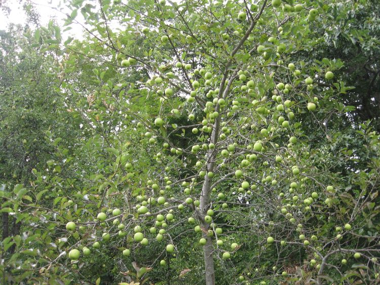 Our Favorite Apple tree!