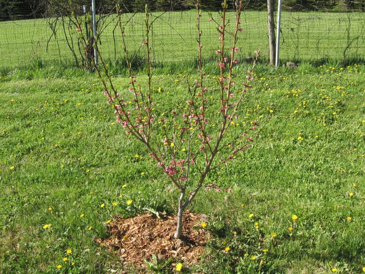Young Peach Tree in Blossom