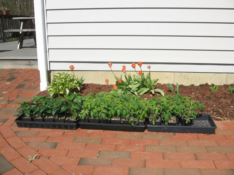 Later plants,Peppers & Tomato