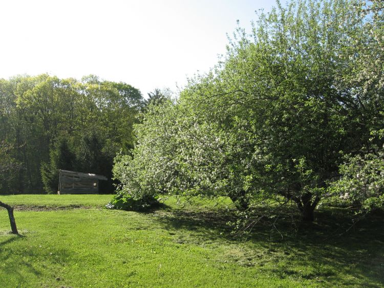 Apple Trees across back yard