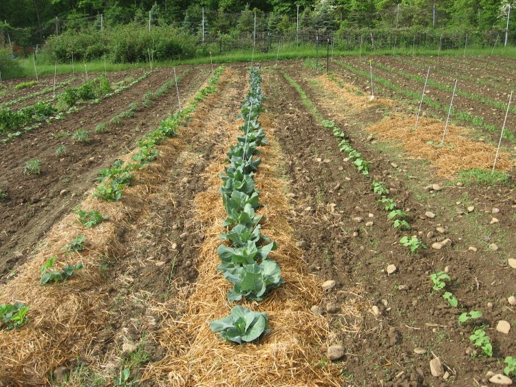 Cabbage Family Plants Thriving