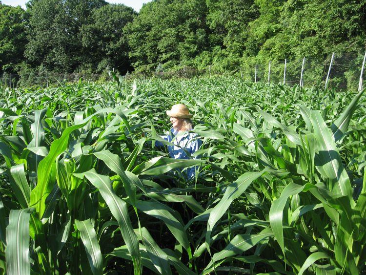 Almost lost in the corn!