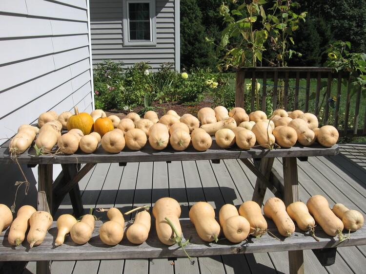 Waltham Butternut bumper crop!
