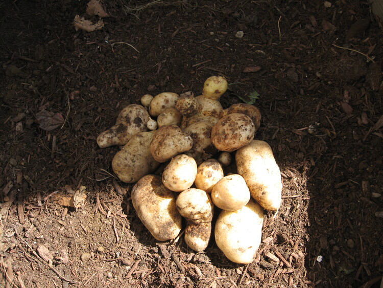 Harvest from one single potato