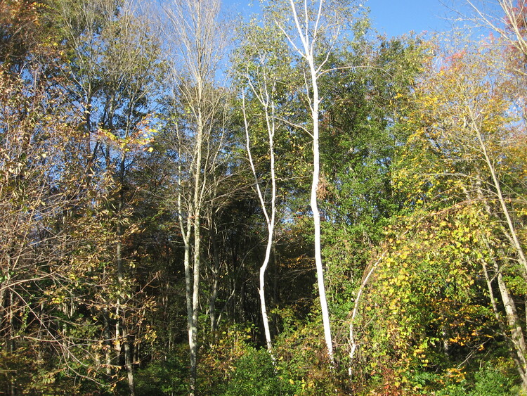 Fall White Birch trees in front of mixed hardwoods