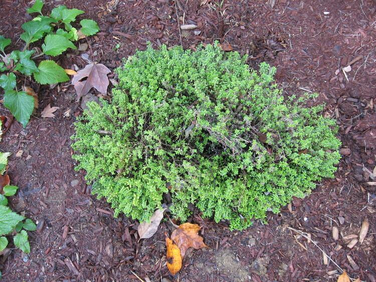 Thyme in my herb garden