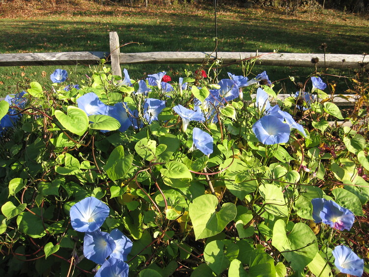 Morning Glories still grace my flower and herb garden