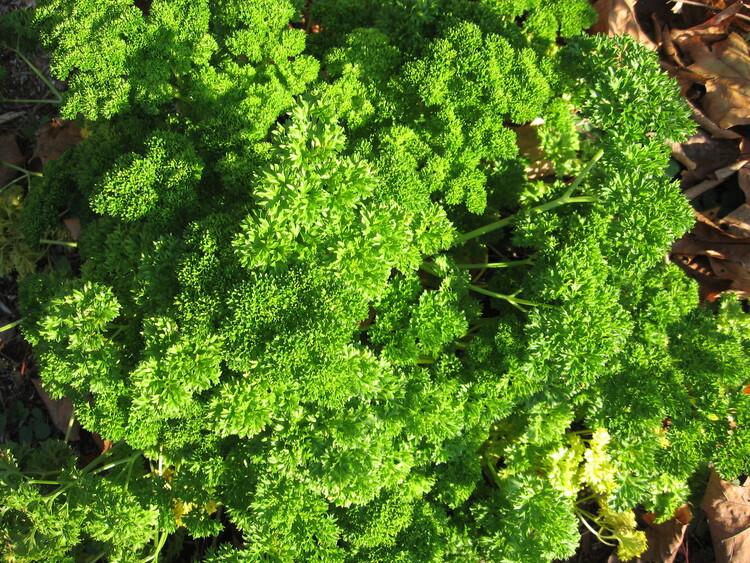 Parsley  graces my herb garden