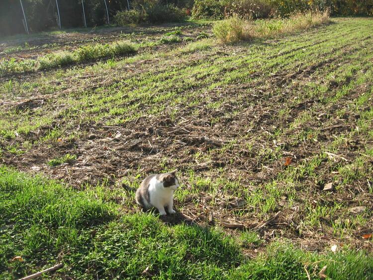 Winter Rye follows Corn