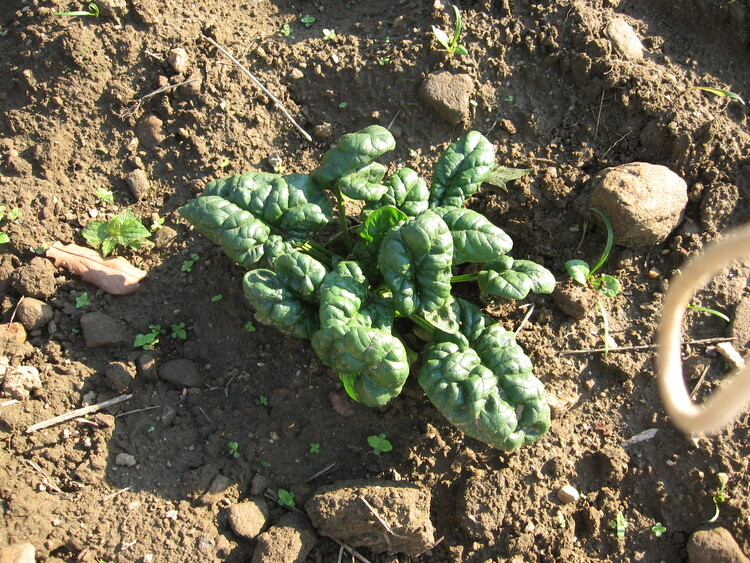 Fall crop of Spinach