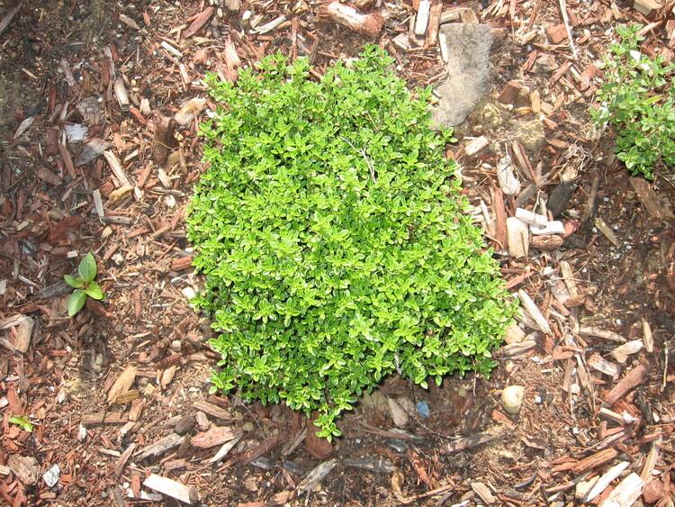 Thyme is a wonderful flavorful herb