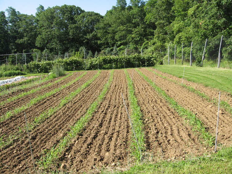 Corn for seed