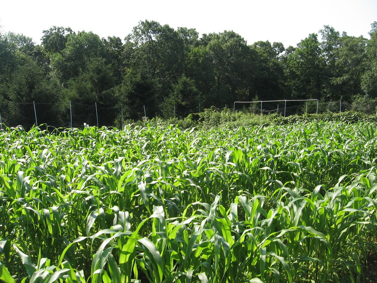 Our Thriving Flint Indian Corn