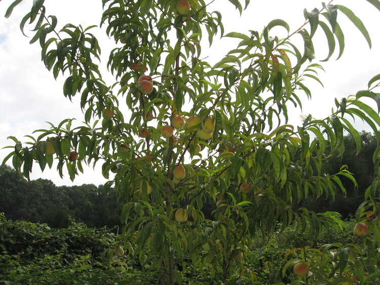 Young Peach tree