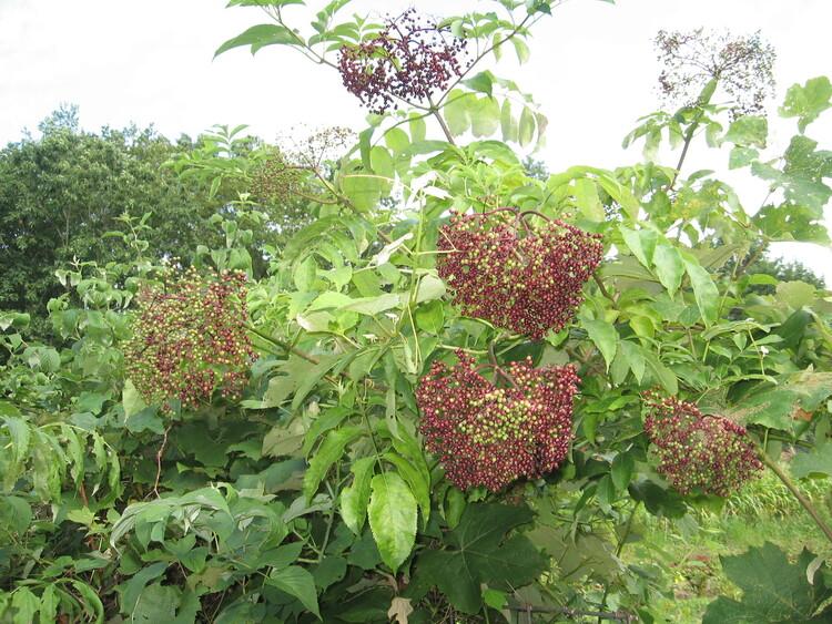 Elderberries on their way