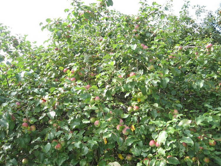 One of our Loaded Apple trees