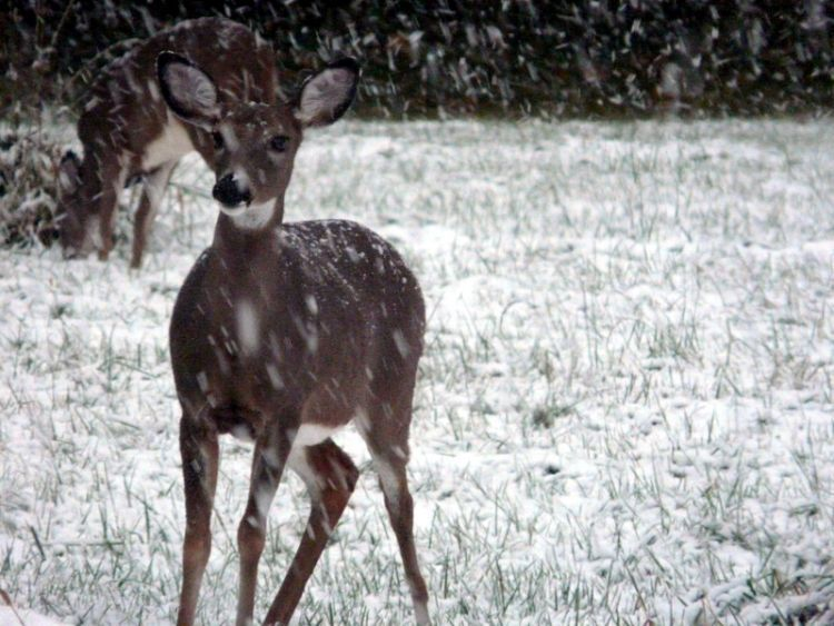 Deer in the First Snow