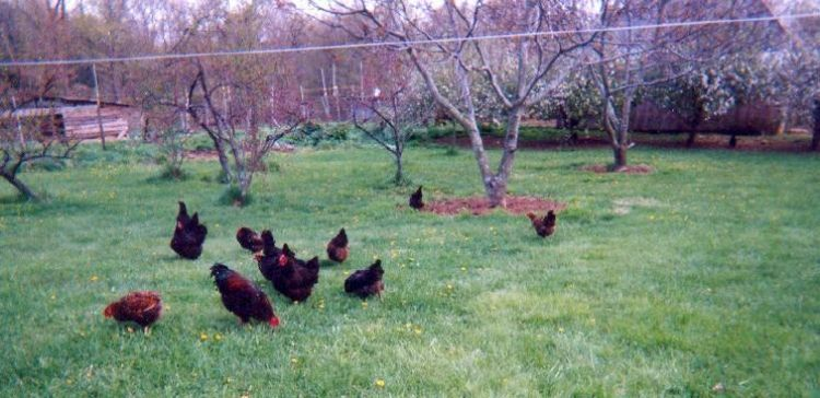 Chickens in the Back Yard